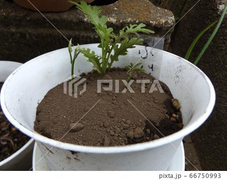 種が芽を出した藤の苗木 66750993