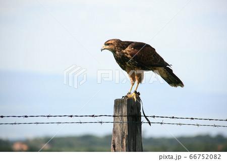 獲物を見つけるため凝視するブラジルの鷹 66752082