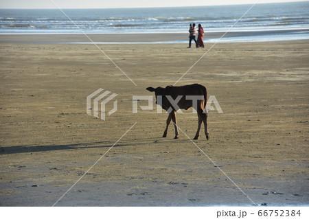 バングラデシュのコックスバザールビーチ 砂浜を歩く子牛とバングラデシュ人親子 66752384