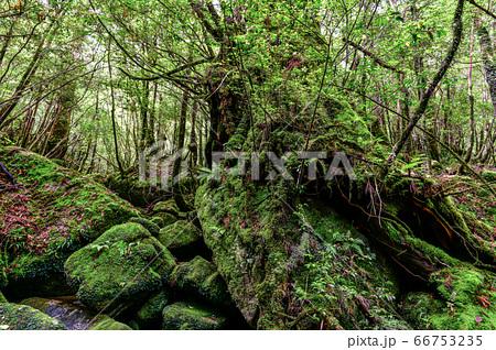 国立公園屋久島白谷雲水狭の森(6月)苔むす沢 66753235