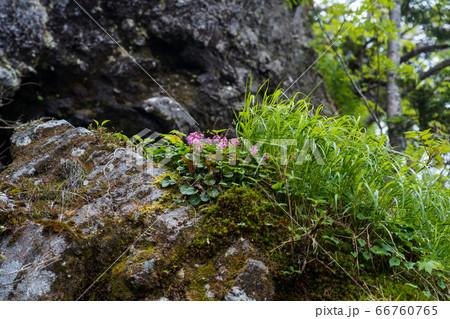 登山道から見上げる岩場のイワカガミ 66760765