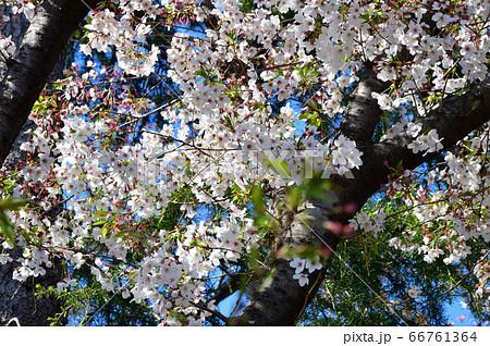 青空を背景として、サクラの樹の枝の春の花をローアングルで撮影した写真 66761364