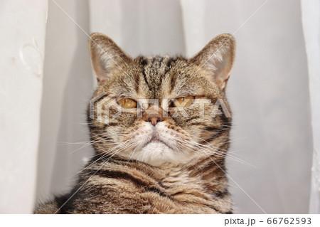 カーテンレース前のカメラ目線の猫アメリカンショートヘアブラウンタビー 66762593