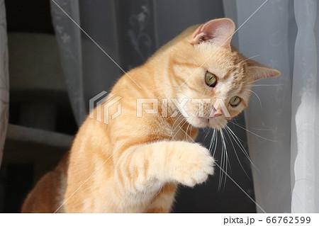 興味津々で手を出してキュートに首を傾げる猫アメリカンショートヘアレッドタビー 66762599