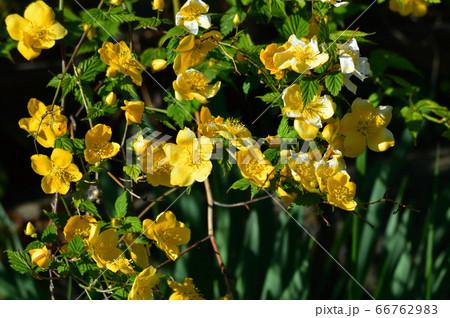 春に黄色い花を付けた植物を撮影した写真 66762983