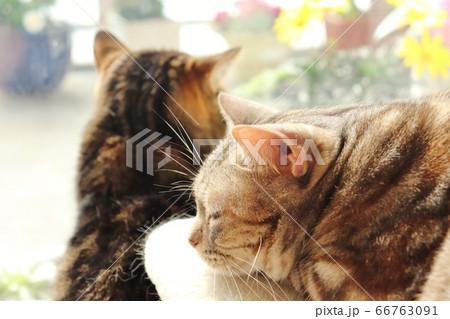 窓辺で日向ぼっこを楽しむ猫達アメリカンショートヘアブラウンタビーシルバーパッチドタビー 66763091
