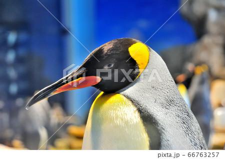 くちばしの先端に一滴の水がついている凛々しい皇帝ペンギン 66763257