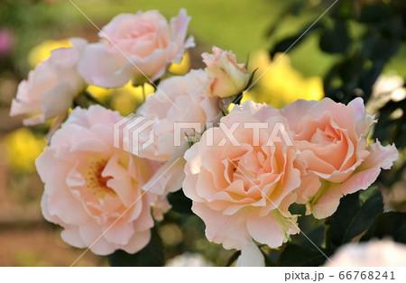 優しく可憐に咲き誇る、ローズ色のバラの仲間達 66768241