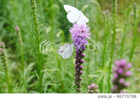 蜜を吸う蝶と飛び立つモンシロチョウ 66770788