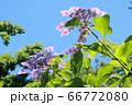 アジサイの花 66772080
