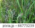 ウスベニチチコグサ 66773239