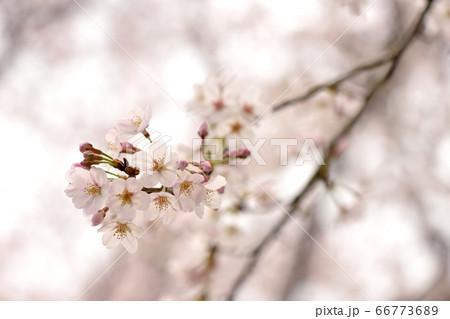 垂れ下がった巾着田の桜を下から見上げるアップ写真 66773689