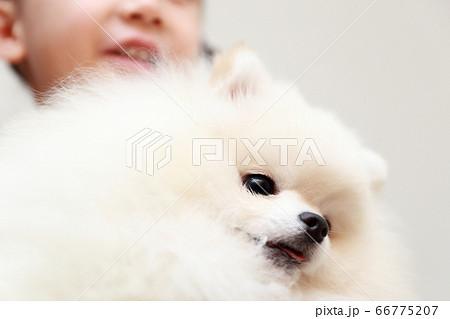 愛犬ポメラニアンを抱っこする女の子 66775207