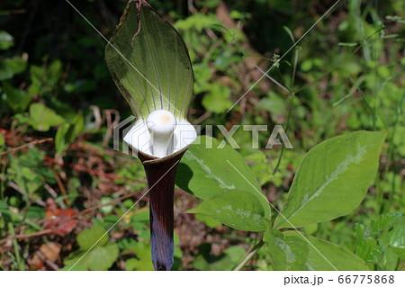 ユキモチソウ 不思議な植物(高知県高知市) 66775868