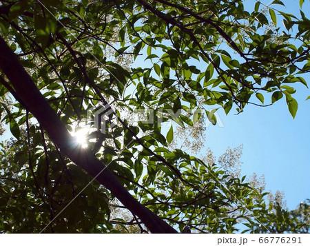 日差しを浴びたシマトネリコ 66776291