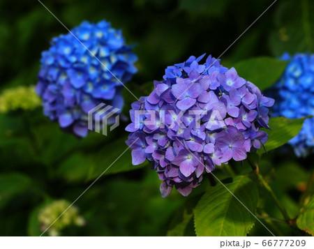 青と紫色のアジサイ 66777209