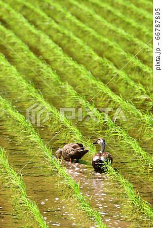 北海道乙部町で田植えが終わった田んぼで餌を探すカモのつがいを撮影 66787895
