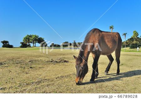 芝をおいしそうに食べている都井岬に生息する野生の馬 66789028