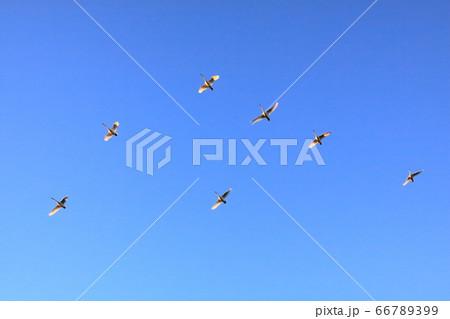 青空下太陽の光に追われるように餌場に群で向かう大白鳥 66789399