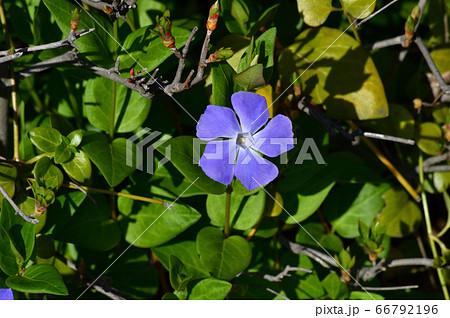 青色の花を付けた植物の青い花をハイアングルで撮影した写真 66792196