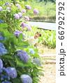 紫陽花と男の子 66792792