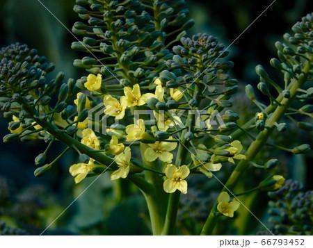 菜の花 66793452