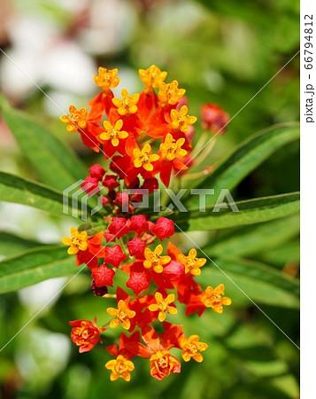 トウワタの花と蕾 66794812