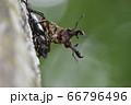 ミヤマクワガタの雄と雌 66796496