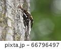 ミヤマクワガタの雄と雌 66796497