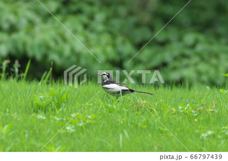 公園の草地でエサを探す夏羽のハクセキレイ 66797439