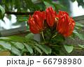 火焔木(かえんぼく) 66798980