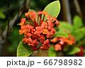 三段花(さんたんか) 66798982