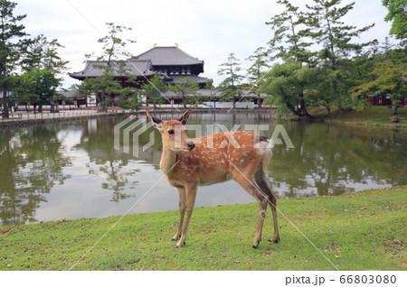 奈良のイメージ 東大寺大仏殿と鹿 66803080