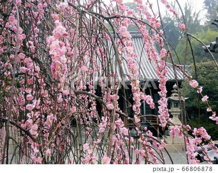 雨上がりのしだれ梅が美しい (竹原市西方寺) 66806878