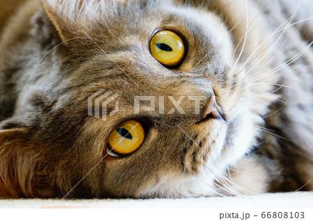 ゴロゴロしている黄色い目の長毛猫 66808103