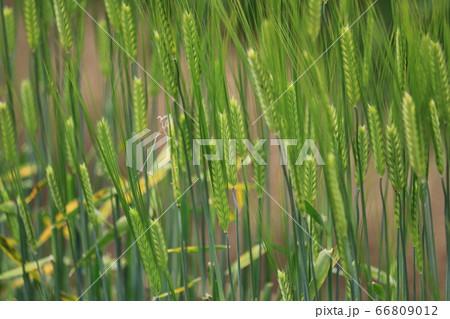 麦畑 66809012