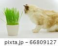 猫草 ラグドール 66809127