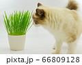 猫草 ラグドール 66809128