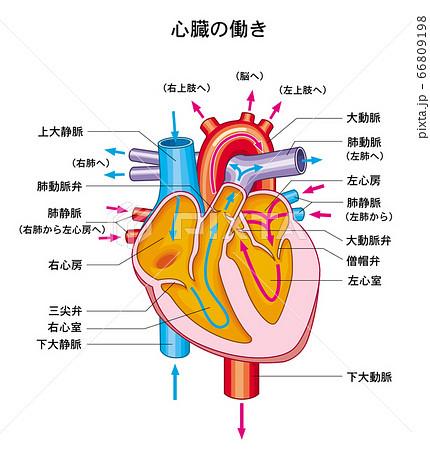 心臓の働き 66809198