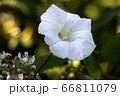 Field Bindweed (Convolvulus arvensis) flowering in 66811079