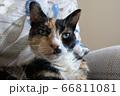 Close-up head shoulders tortoiseshell female cat 66811081