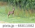 Alert young male European Roe Deer (Capreolus 66811082