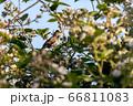 Common Whitethroat (Sylvia communis) singing in a 66811083
