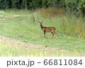 Alert young male European Roe Deer (Capreolus 66811084