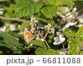 Small Heath Butterfly (Coenonympha pamphilus) 66811088