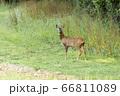 Alert young male European Roe Deer (Capreolus 66811089