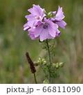 Wild Hollyhock (Alcea rosea) flowers. A Pink plant 66811090