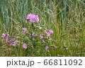 Wild Hollyhock (Alcea rosea) flowers. A Pink plant 66811092