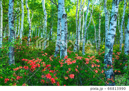 《長野県》ツツジと新緑の白樺群生地・八千穂高原 66813990