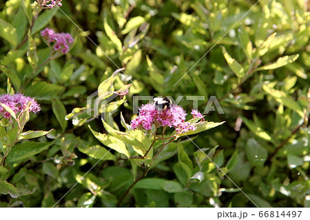 シモツケ・ゴールドフレームの花とマルハナバチ 66814497